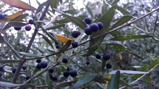African olive - Olea europea subsp. cuspidata